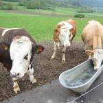 Da sind die Kühe noch draußen und froh!